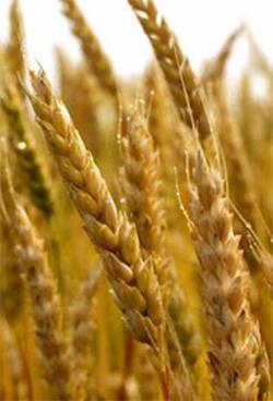 Зерновые культуры, список растений с названиями, виды зерна, основные черты размещения, урожайность, классификация пшеницы